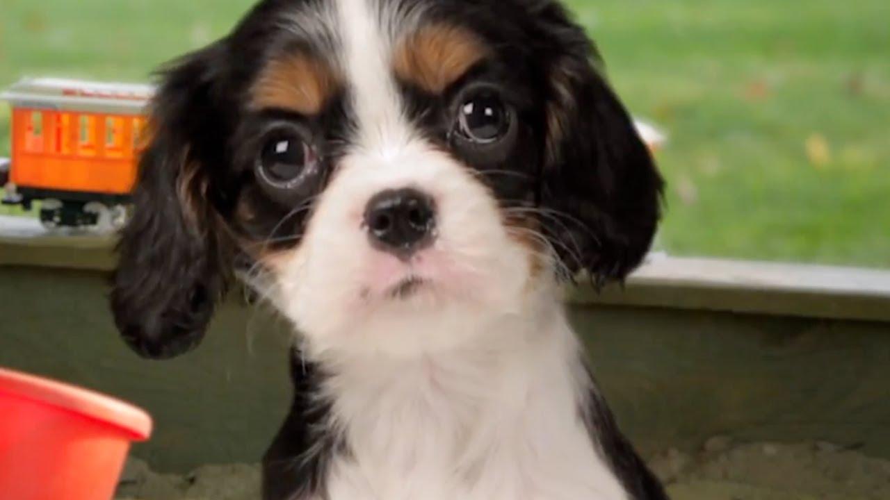 Cute Puppies Sing Twinkle Twinkle Little Star